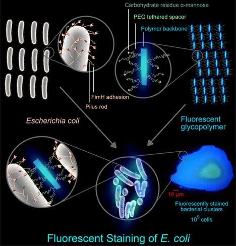 fluorescing-bacteria