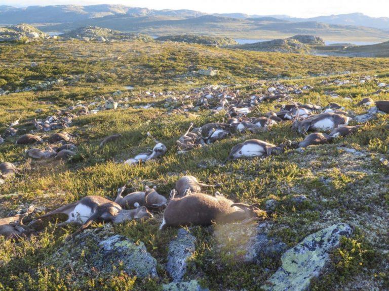 300+ Reindeer Killed in Lightning Strike in Norway
